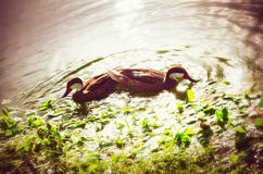 Beautiful water ducks enjoying the sunset on the tropical lake, Royalty Free Stock Images