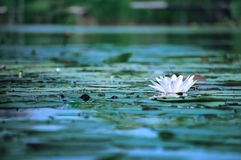 Beautiful water flower. Beautiful water lily in a pond Stock Photos