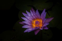 Beautiful water lilies. royalty free stock image