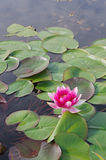 Beautiful Water Lilies Stock Images