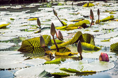 Beautiful water lilies in the garden pond, seasonal natural scen Royalty Free Stock Photography
