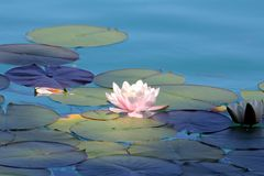 Water lilies pond as a wallpaper. Beautiful Water lilies pond as a wallpaper royalty free stock photography