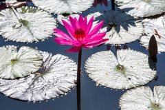 Water lilies on a pond. Beautiful Water lilies on a pond Stock Image