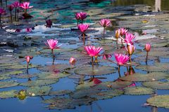 Water lilies on a pond. Beautiful Water lilies on a pond Royalty Free Stock Images
