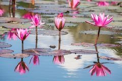 Water lilies on a pond. Beautiful Water lilies on a pond Stock Photo