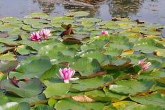 Beautiful Water Lilies Stock Image