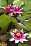 Beautiful water lilies Royalty Free Stock Images