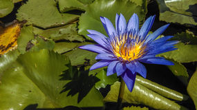 Beautiful water lilly Flowers Stock Images