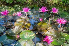 Beautiful water lilly Stock Photos