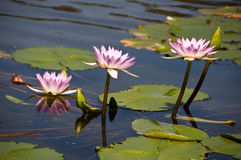 Beautiful water lilly lotus. With reflection Stock Image
