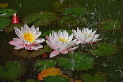 Beautiful water lilly in rain Royalty Free Stock Images