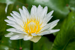 Beautiful Water Lilly Royalty Free Stock Image