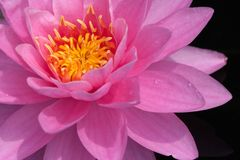 Beautiful water-lily Royalty Free Stock Photography