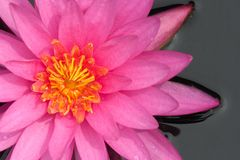 Beautiful water-lily Stock Photo