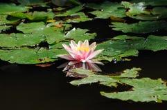 Beautiful water lily Stock Photos
