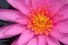 Beautiful water-lily royalty free stock image