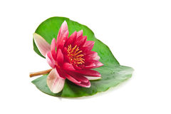 Beautiful water lily Royalty Free Stock Image