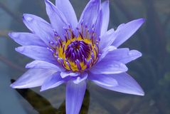 Free Beautiful Water Lily Stock Photos - 972123