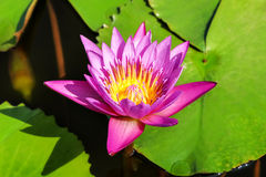 Beautiful water lily with background of green leaf. Royalty Free Stock Image