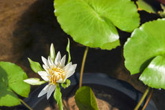 Beautiful water lily with background of green leaf. Stock Photography