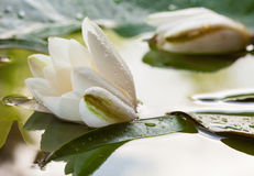 Beautiful water lily in a basin Royalty Free Stock Images