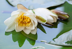 Beautiful water lily in a basin Royalty Free Stock Photography