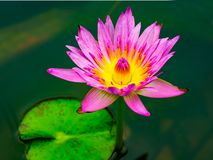Beautiful water lily. Blooming in a pond stock image