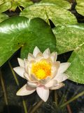 Water lily in Granada, Spain. stock image