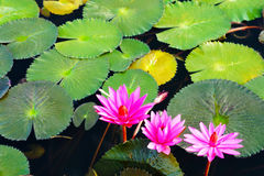 Beautiful water lily Stock Photography