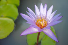 Beautiful water lily flower Stock Image