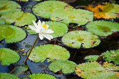 Beautiful Water lily Royalty Free Stock Photo
