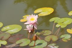 Beautiful water lily stock photo
