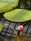Beautiful water lily and its giant leaves. In Botanical Garden Cluj-Napoca, Romania Stock Image