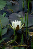 Beautiful water lily in lake Royalty Free Stock Image