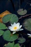 Beautiful water lily in lake Stock Photo