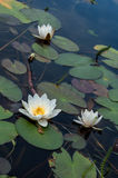 Beautiful water lily in lake Royalty Free Stock Images