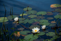 Beautiful water lily in lake Stock Photos