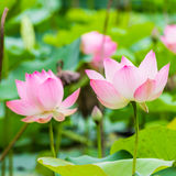Beautiful water lily and leaf Stock Photo