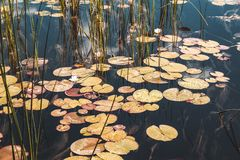 Beautiful water Lily leaves in the river in summer royalty free stock photos