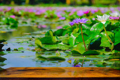 This beautiful water lily or lotus flower blooming on the water and Wood table in garden,Thailand. Royalty Free Stock Photography