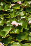 Beautiful water lily in a park Stock Image