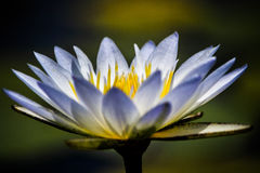 White Water lily in close-up Royalty Free Stock Photos