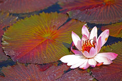 Beautiful water lily Stock Image