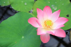 Beautiful Water Lily, Pink Lotus flower Stock Images