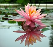 Beautiful Water Lily in a Pond Stock Photography