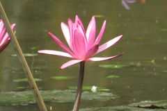 Beautiful water lily in a pond royalty free stock photos