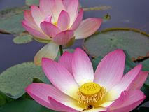 Beautiful water lily pond with great colours royalty free stock photo