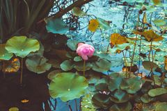 Beautiful water lily in a pond with lots of leaves around it. Beautiful pink water lily in a pond with lots of leaves around it Royalty Free Stock Image