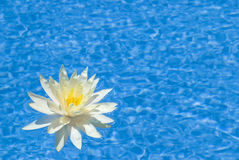 Beautiful  water lily in a pool Stock Photography