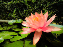 Beautiful water lily Royalty Free Stock Photo
